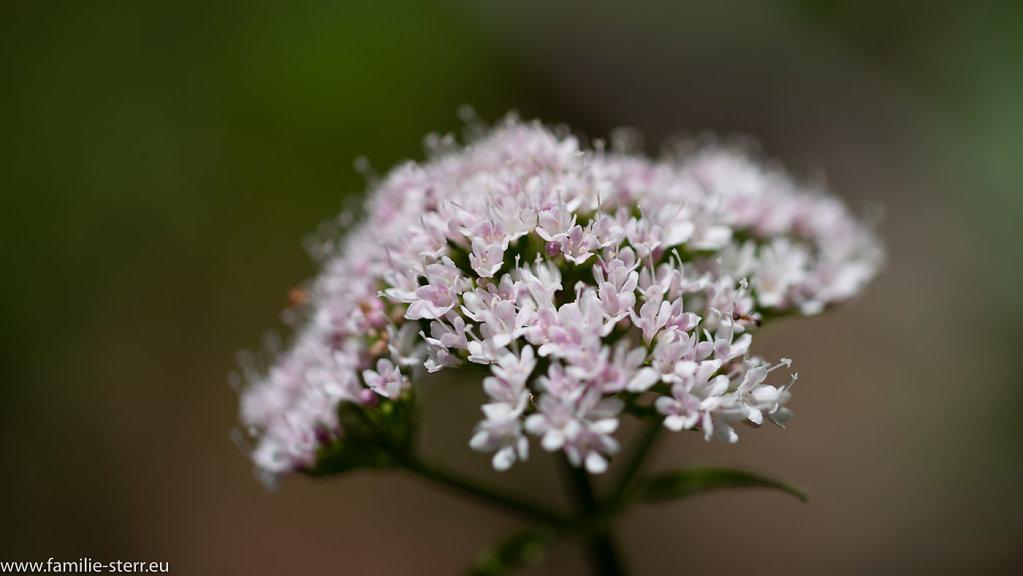 Blüten / Blossoms - Blätter / Leafs